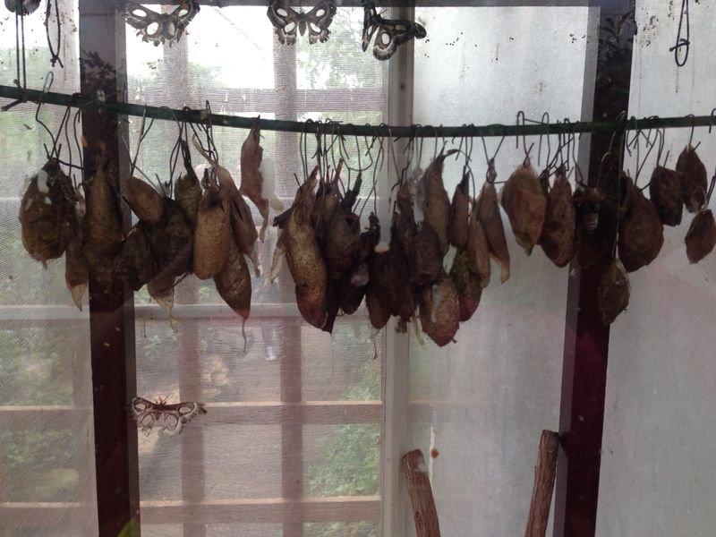 Hanging cocoons.
