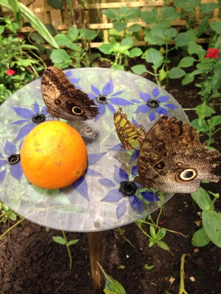 Butterflies landed on the table with the oranges