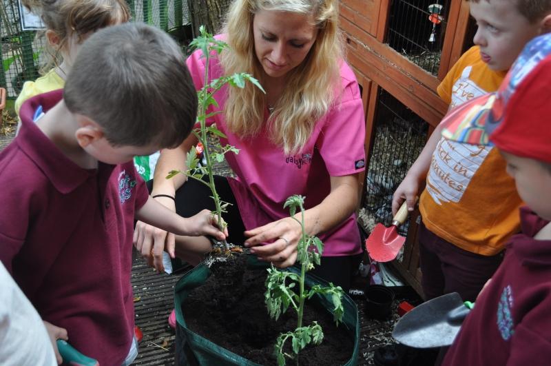 Replanting the tomato plants