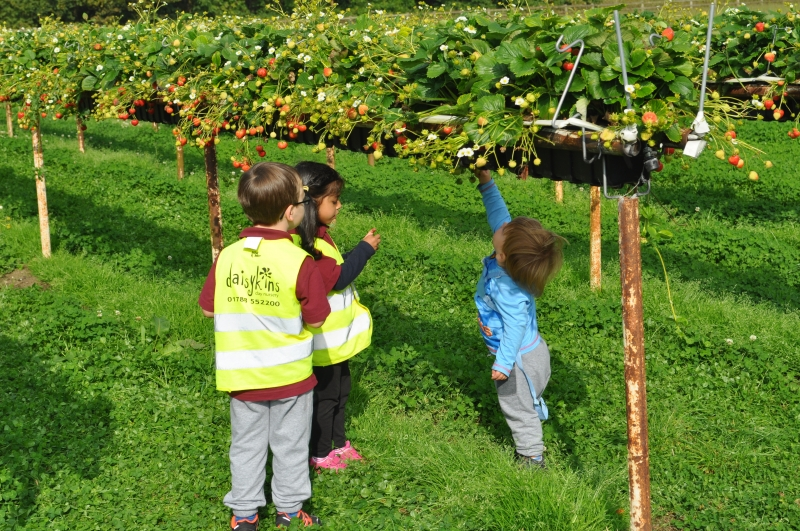 Working together to pick strawberry picking