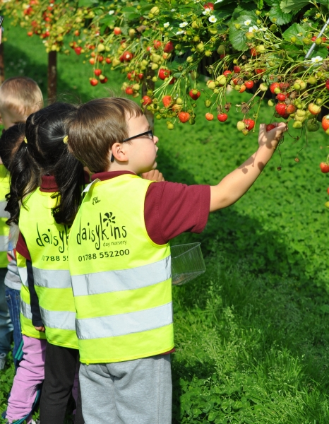 Looking for big strawberries